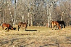 Konie pasa w wiośnie Zdjęcia Stock
