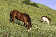 Konie pasają na halnej łące Obrazy Royalty Free
