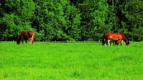 Konie pasają na zieleni polu Stado konie pasa na paśniku krajobrazu wiejskiego zbiory