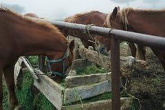 Konie pasają w łące w górach, mgła, bydlę, zwierzęta Zdjęcia Stock