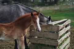 Konie pasają w łące w górach, natura, bydlę, zwierzęta domowe, gospodarstwo rolne Zdjęcia Royalty Free