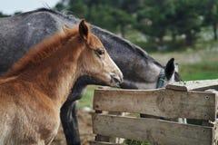 Konie pasają w górach w łące, jedzą trawy, bydlę, zwierzęta Obraz Royalty Free
