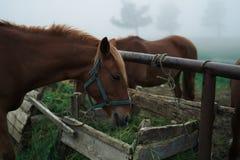 Konie pasają w górach w mgle, bydlę, zwierzęta Zdjęcie Stock