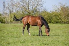 Konie pasają w paśniku Padoków konie na konia gospodarstwie rolnym koni target2149_1_ Obrazy Stock