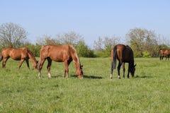 Konie pasają w paśniku Padoków konie na konia gospodarstwie rolnym koni target2149_1_ Obraz Royalty Free