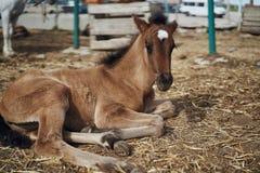 Konie pasają w piórze, gospodarstwo rolne, uprawia ziemię, zwierzęta, bydlę Fotografia Royalty Free