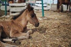 Konie pasają w piórze na gospodarstwie rolnym, bydlę, zwierzęta Zdjęcie Stock