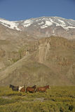 Konie pod San Jose Wulkanem. Fotografia Royalty Free