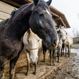 Konie przy gospodarstwem rolnym Obraz Stock