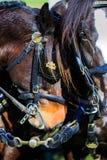 Konie przy karecianym przedstawieniem z blinders dalej obrazy stock