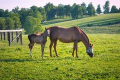 Konie przy konia gospodarstwem rolnym Kraju krajobraz Zdjęcia Stock