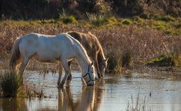 Konie przy laguną Zdjęcia Royalty Free