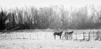 Konie przy paśnikiem na zima dniu z drzewami i polami Zdjęcia Royalty Free