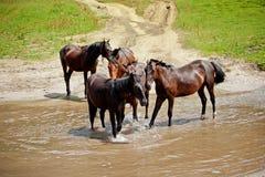 Konie przy rzeką Zdjęcie Stock