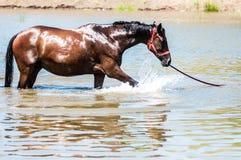 Konie przy stawem Zdjęcie Royalty Free