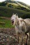 konie się śmiać Zdjęcia Stock