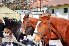 Konie stoją z rzędu Obraz Royalty Free