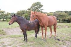 Konie wędruje swobodnie w południowych waliach Obrazy Royalty Free