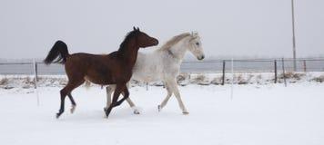 Konie w śniegu obrazy royalty free