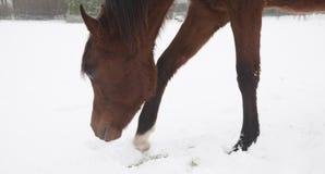 Konie w śniegu obraz royalty free