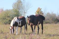Konie w Śródpolnym pasaniu Zdjęcia Stock
