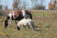 Konie w Śródpolnym pasaniu Fotografia Royalty Free