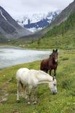 Konie w Altai górach, federacja rosyjska Obrazy Royalty Free