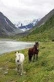 Konie w Altai górach, federacja rosyjska Obrazy Stock