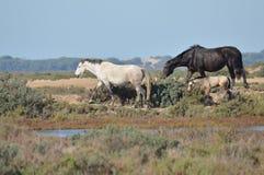 Konie w bagnach Zdjęcia Royalty Free
