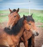 Konie w Buryat wiosce, Olkhon, Jeziorny Baikal, Rosja Zdjęcia Stock