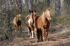 Konie w drzewach na Assateague wyspie obraz stock