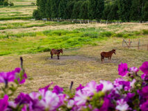 Konie w Fechtującym się polu Zdjęcie Royalty Free