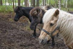 Konie w Finlandia lasu krajobrazie Zwierzęcy tło Zdjęcia Royalty Free