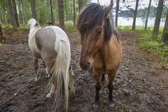 Konie w Finlandia lasu krajobrazie Zwierzęcy tło Zdjęcie Royalty Free