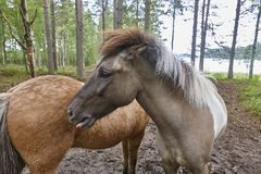 Konie w Finlandia lasu krajobrazie Zwierzęcy tło Obraz Stock