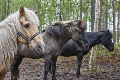 Konie w Finlandia lasu krajobrazie Zwierzęcy tło horyzont Zdjęcia Stock