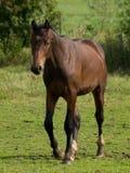 Konie w Germany zdjęcia royalty free