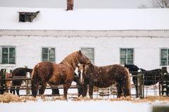 Konie w klauzurze przy koniem uprawiają ziemię Fotografia Royalty Free