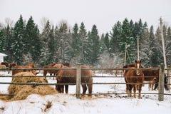 Konie w klauzurze przy koniem uprawiają ziemię Obrazy Stock