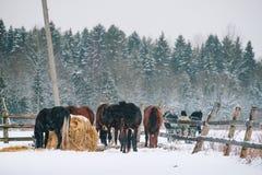 Konie w klauzurze przy koniem uprawiają ziemię Obraz Stock