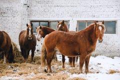 Konie w klauzurze przy koniem uprawiają ziemię Obraz Royalty Free