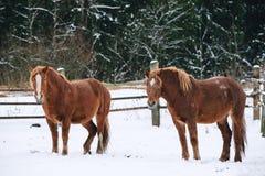 Konie w klauzurze przy koniem uprawiają ziemię Zdjęcia Royalty Free