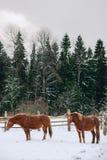 Konie w klauzurze przy koniem uprawiają ziemię Fotografia Stock