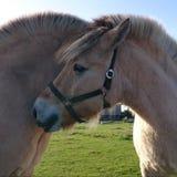 Konie w Miłości Fotografia Royalty Free