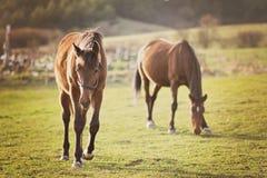 Konie w naturze Zdjęcia Royalty Free