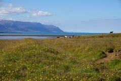 Konie w Północnym Iceland Fotografia Royalty Free