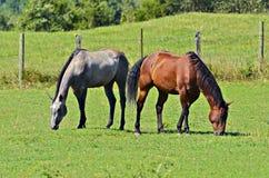 Konie w paśniku Obrazy Royalty Free