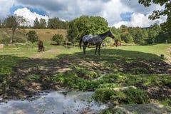 Konie w polu Obraz Royalty Free