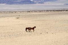 Konie w pustyni Zdjęcie Royalty Free