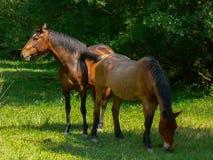 konie w warunkach polowych Obraz Stock
